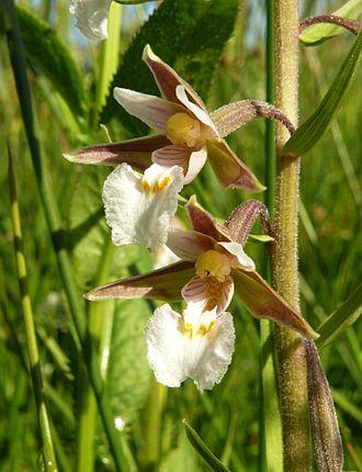 Epipactis - Marsh Helleborine (Epipactis palustris)