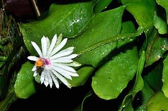 Epiphyllum - Image: Epiphyllum baueri