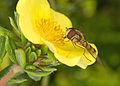 Episyrphus balteatus 1.jpg