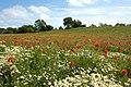 Eppleworth, Poppy field - panoramio.jpg