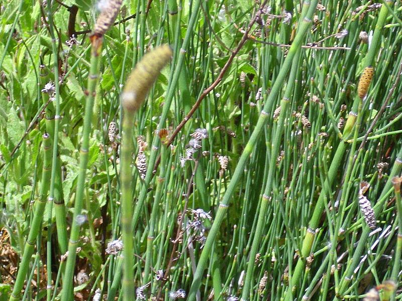 File:Equisetum ramosissimum Habitus 2010-7-17 SierradeAlfacar.jpg