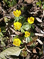 Eranthis hyemalis group.JPG