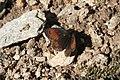 Erebia cassioides, Vanoise - img 22667.jpg
