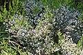 Erica hirtiflora 02.jpg