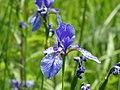 Eriskircher Ried Irisblüte 156.jpg