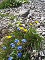 Eritriche nain - panoramio.jpg