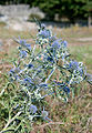 Eryngium amethystinum plavi kotrljan Omisalj 0809 2.jpg
