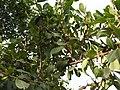 Erythroxylum monogynum-3-mundanthurai-tirunelveli-India.jpg