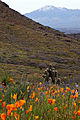 Eschscholzia californica Pinaleno Mountains (4474712431).jpg