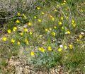 Eschscholzia minutiflora 1.jpg
