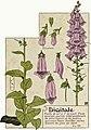 Etude de la plante - p.131 fig.172 - Digitale pourpre.jpg