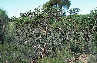 <i>Eucalyptus grossa</i> species of plant