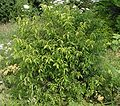 Euonymus verrucosus20090702 052.jpg