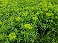 Euphorbia adenochlora at Tajimagahara 01.jpg