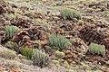 Euphorbia canariensis - Barranco de Fataga.jpg