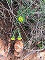 Euphorbia cyparissias IMG 9822 Čajetina.JPG