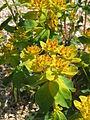 Euphorbia epithymoides03.jpg