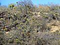 Euphorbia sekukuniensis, Voortrekkerbad, e.jpg