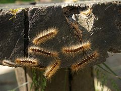 Euproctis chrysorrhoea.jpg