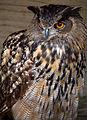European Eagle Owl (6022435628).jpg