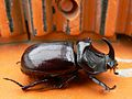 European rhinoceros beetle.jpg