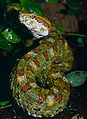 Eyelash Viper (Bothriechis schlegelii) female (captive specimen) (14640991858).jpg