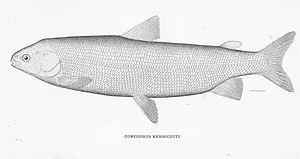 Broad whitefish - Image: FMIB 46746 Coregonus Kennicotti