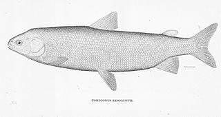 Broad whitefish Broad whitefish