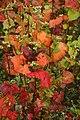 Fagopyrum-esculentum-ripening.JPG