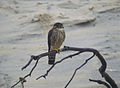 Falco columbarius Back Bay NWR.jpg