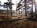 Fallen Tree - geograph.org.uk - 317636.jpg