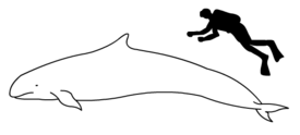 False killer whale size.png