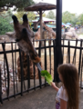 Feeding a giraffe at the Houston Zoo.png