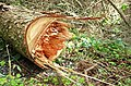 Felled tree, Castlewellan Forest Park (2) - geograph.org.uk - 1246502.jpg