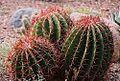Ferocactus pilosus-- the Mexican Firebarrel (26372922604).jpg