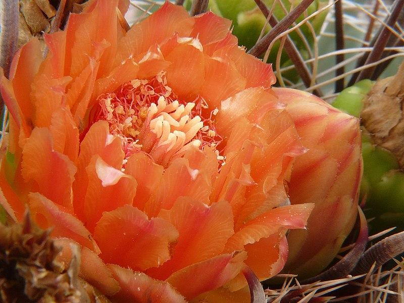 File:Ferocactus wislizeni flower.jpg