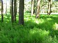 Fichtenmoorwald am Fuße des Forchenhügels.jpg