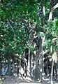 Ficus Piazza Marina.jpg