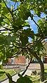 Ficus carica Zumaiako institutuan.jpg