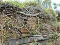 Ficus ingens, habitus, Phalandingwe, b.jpg