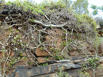Ficus ingens - Covering a north west facing rock surface at Pelindaba, South Africa