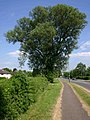 Fine tree on Alcester Road - geograph.org.uk - 1877450.jpg