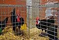 Fira Gata al Carrer (Gata de Gorgos), pollastres.jpg