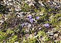 Fjärilsstigen blåsippor 2015.jpg