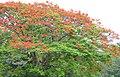Flamboyant Tree (Delonix regia) (46475663002).jpg