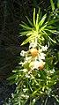 Fleurs et Fruits -Daphne gnidium (Daphné garou).jpg