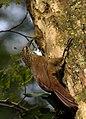 Flickr - Dario Sanches - ARAPAÇU-DE-GARGANTA-BRANCA (Xiphocolaptes albicollis ).jpg