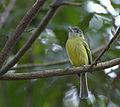 Flickr - Dario Sanches - BICO-CHATO-DE-ORELHA-PRETA (Tolmomyias sulphurescens).jpg