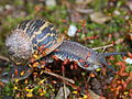 Flickr - Michael Gwyther-Jones - Garden Snail.jpg