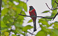 Flickr - Rainbirder - Elegant Trogon (Trogon elegans) in the rain.jpg